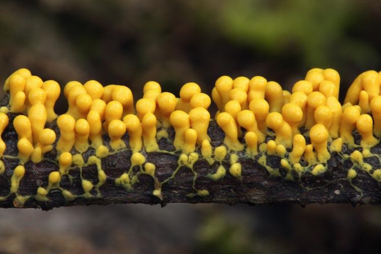 Many-headed Yellow Slime