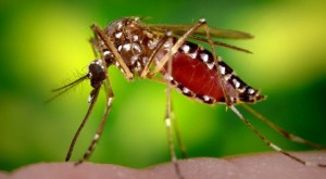 GM komare