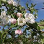 Jabloň zo semena plodiaca chutné jablká je realita