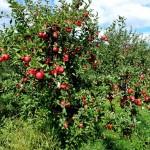 Ovocný strom je mocný symbol vo všetkých sadoch slovanského sveta