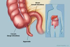 appendix-anatomy