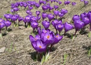 Purple_crokus_crokus_vern