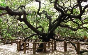 Maior-cajueiro-do-mundo-Rio-Grande-do-Norte