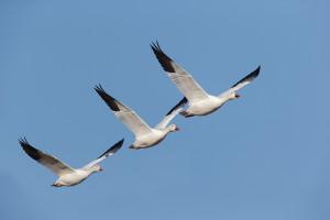 snow-geese-3-in-flight-_y7o1204-bosque-del-apache-nwr-san-antonio-nm