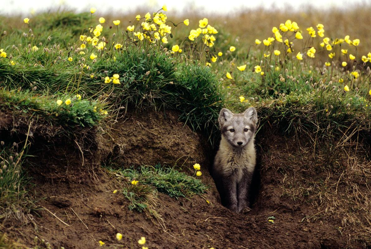 01-arctic-fox-den_adapt__1190_1