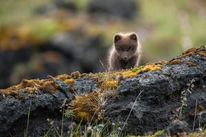 Arctic Fox (Vulpes lagopus fuliginosus)