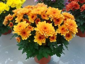 chrysanthema_111