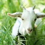 Prírodné kozie mlieko ako účinná kozmetika