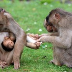 Veľkosť mozgu primátov súvisí s druhom potravy, ktorú konzumujú