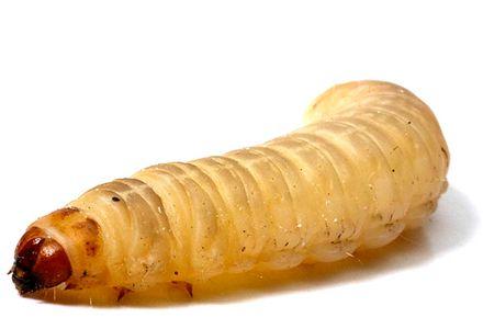 846529633_1_644x461_larvas-da-cera-galleria-mellonella-vivas-vila-nova-de-gaia_rev001