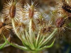 semena mrkvy