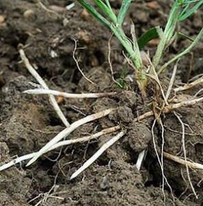 Лечебные-свойства-корня-пырея