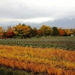 Prekrásne kvitnúce polia bylín v Japonsku