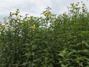 topinamburg-kvetnuci