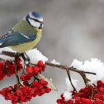 Vtáky starnú rýchlejšie v meste ako v prírode