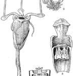 Neobyčajná podzemná rastlina bola znovu objavená po 150 rokoch