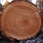 Globálne klimatické zmeny znižujú hustotu nového dreva vnašom klimatickom pásme
