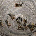 Osy sú rovnako dôležité pre životné prostredie ako včely