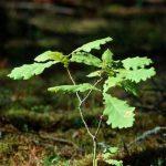 Experimenty na urýchlenie rastu avývoja duba