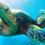 Mikročastice plastov nájdené včrevnom trakte všetkých druhov morských korytnačiek