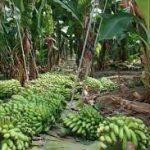 Ekvádorský toxický banánový priemysel