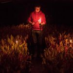 Pestovanie rebarbory v tme