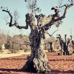 Smrtonosná baktéria ničí stromy na juhu Talianska