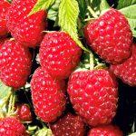 Červená malina (Rubus ideaeus) má antimetastatické vlastnosti proti bunkám karcinómu nosohltanu
