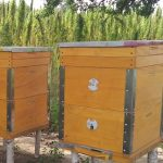 Konope je ideálnym produktom, ktorý podporuje reprodukciu včelstiev