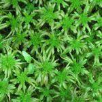 Šesť rastlín, ktorými zachraňovali životy ľudí počasDruhej svetovej vojny
