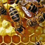 Vedci našli náhradu za antibiotiká – med
