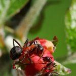 Mravce presunuté do jabloňových sadov znížili výskyt dvoch chorôb jabloní