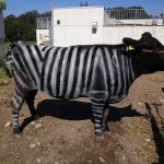 "Kravy – ""zebry"" menej trpia od dotieravého hmyzu"