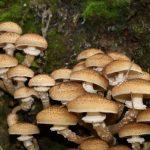 Neškodná huba podpňovka ničí stromy po celom svete