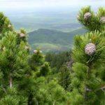 Počas 10 minút ihličie borovice limby zničilo všetky chrípkové vírusy