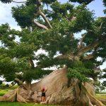 Posvätný strom Mayov