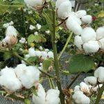 Nová GMO bavlna poskytne svetovej populácii cenovo dostupný proteín azároveň túto populáciu sterilizuje
