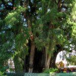 Strom, ktorý dokáže ukryť pod svojou korunou päťsto ľudí