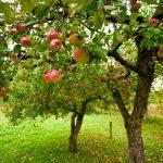 Organické jablká obsahujú stovky miliónov prospešných baktérií