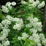 Rastlina s vysokou antivírusovou aktivitou, ktorá rastie aj vnašich parkoch