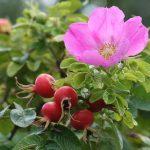 Najbohatšia rastlina na antioxidanty