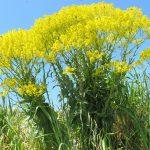 Rastlina, ktorá chráni pred vírusmi