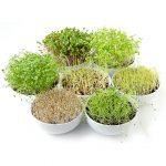Prínos konzumácie naklíčených semien